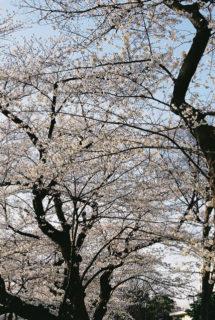 千鳥ヶ淵(13/03/23) ⑥