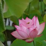 早起きして、蓮の花を撮影に
