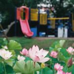足立堀之内公園のハス #06