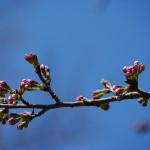 桜はもうちょっと