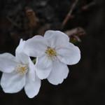 一眼レフで桜撮影