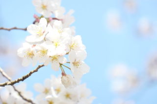 DC-TX2で桜を