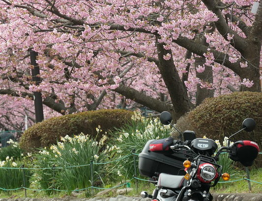 クロスカブで河津桜ツーリング